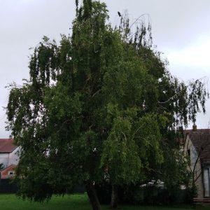 stablo breze
